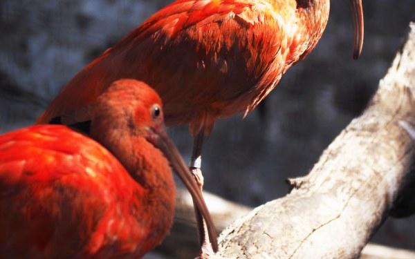 Red birds…